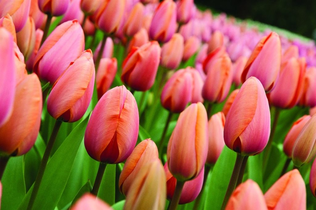 Nizozemsko kr lovstv tulip n quicktour - Immagini di fiori tedeschi ...